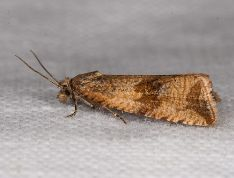 Celypha striana