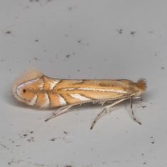 Phyllonorycter quercifoliellus