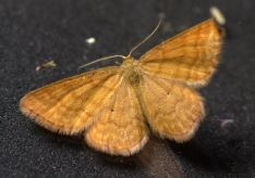 Idaea serpentata