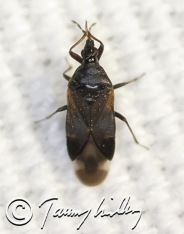 Anthocoris confusus