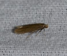 Xystophora pulveratella