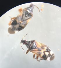 Anthocoris butleri