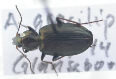 Agonum gracilipes