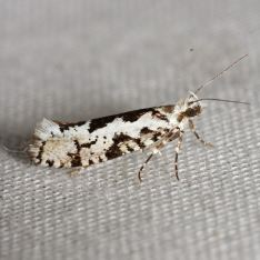 Ypsolopha sequella