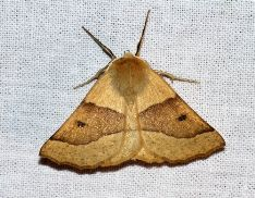 Crocallis elinguaria