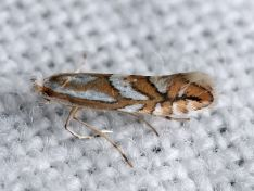 Phyllonorycter blancardellus