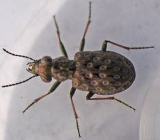Elaphrus riparius