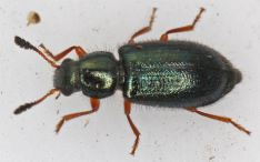 Necrobia rufipes