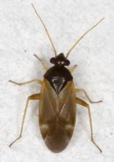 Plesiodema pinetella