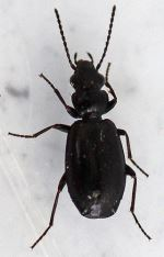 Syntomus truncatellus