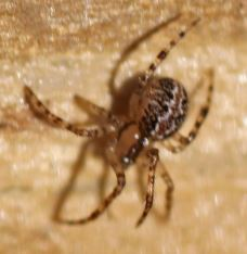 Theridion pictum