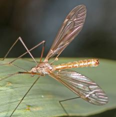 Tipula obsoleta