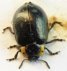 Chrysomela collaris
