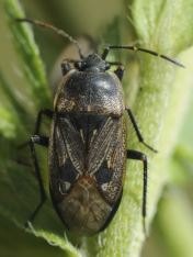 Graptopeltus lynceus
