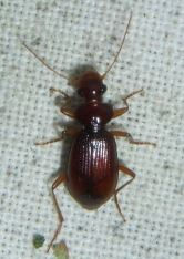 Leistus ferrugineus
