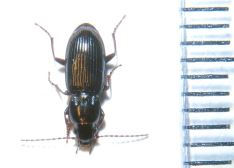 Pterostichus minor