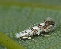 Phyllonorycter geniculellus
