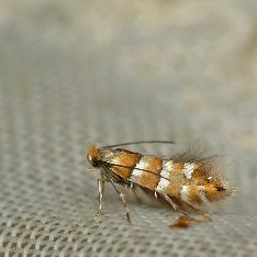 Phyllonorycter klemannellus