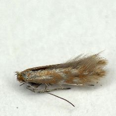 Phyllonorycter staintoniellus