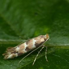 Phyllonorycter trifasciellus