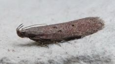 Athrips pruinosellus