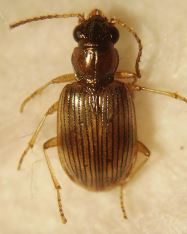 Bembidion ruficolle
