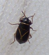 Geocoris grylloides