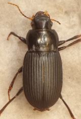 Harpalus rufipalpis