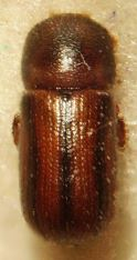 Trypodendron lineatum