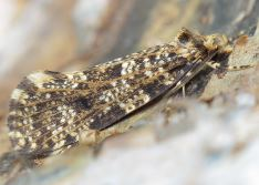 Montescardia tessulatella