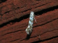 Phyllonorycter joannisi