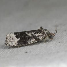 Apotomis turbidana