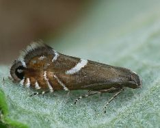 Glyphipterix forsterella