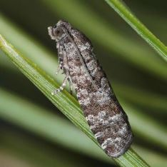 Retinia resinella