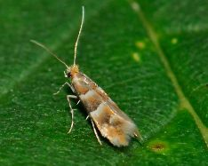 Phyllonorycter tristrigellus