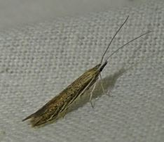 Coleophora granulatella