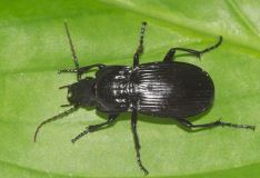 Abax parallelepipedus