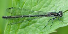 Coenagrion hastulatum