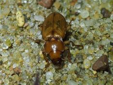 Harpalus flavescens