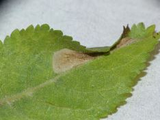 Phyllonorycter spinicolellus