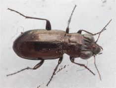 Notiophilus germinyi