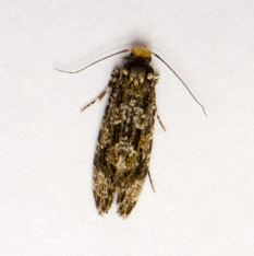 Triaxomera parasitella