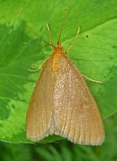 Evergestis aenealis