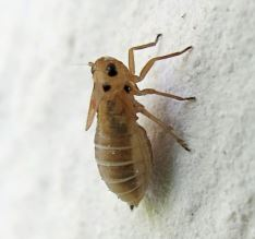 Stiroma bicarinata