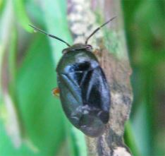 Strongylocoris steganoides