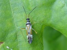 Cyllecoris histrionius