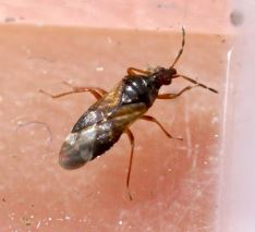 Anthocoris simulans
