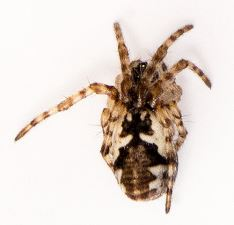 Cyclosa conica