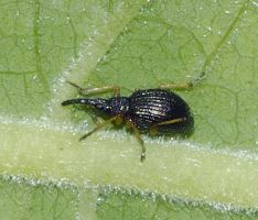 Protapion gracilipes