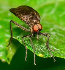 Rhamphomyia spinipes
